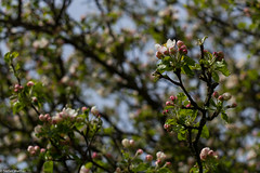 blossoms (picturesbywalther) Tags: tree nature spring blossoms baum apfel frhling blten apel