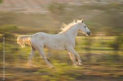 _DSC8845 (Izaias Lus) Tags: brasil caballos photography photographie cavalos equestrian equine nordeste chevaux equino haras equestre garanhunspe