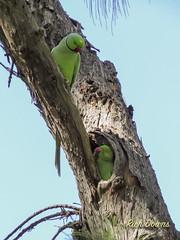 Rose-ringed Parakeet (rich_downs) Tags: park canon waikiki pair powershot parakeet kapiolani roseringed sx50