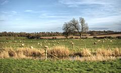Sheep near Titchborne, Hampshire (neilalderney123) Tags: rural landscape farm olympus omd sheppe 2016neilhoward