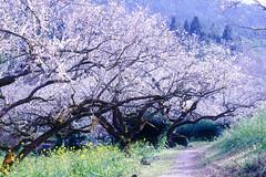 Pulm Blossoms falling like snow (Vincen Chuang) Tags: snow flora sony taiwan 南投 台灣 雪 風景 plumblossoms 梅花 台灣之美 信義鄉 nantoucounty thebeautyoftaiwan fe70200mmf4goss a7rii