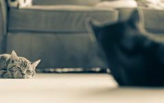 Detente (Tracey Rennie) Tags: monochrome cat cozy bokeh warmth jaffa sleepy cooper detente underfloorheating littledoglaughedstories littledoglaughednoiret rubbingalong