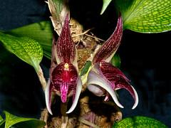 bulbophyllum reticulatum (Eerika Schulz) Tags: bulbophyllum reticulatum orchidee orchideen orchid orchids eerika schulz