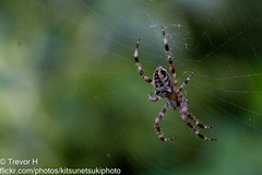 Cross Orbweaver 2 (Kenjis9965) Tags: macro contrast canon eos spider is sitting looking cross web arachnid hunting silk 100mm 7d usm bushes ef orbweaver preying f28l