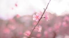 Harumeki - D3s & Nikkor 24mm f/1.4G (TORO*) Tags: park pink blur tree castle japan ed nikon bokeh f14 14 plum osaka 24 24mm af nikkor ume afs f14g d3s
