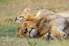 Afternoon Nap / Serengeti / Tanzania