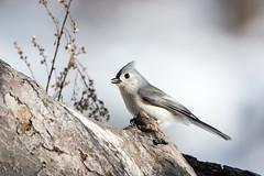 quabbinwinter2016-483 (gtxjimmy) Tags: winter bird mouse nikon tit massachusetts newengland reservoir tufted quabbin tamron songbird quabbinreservoir d600 watersupply nikond600 150600mm