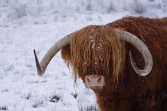 Highland Cow in winter (Ludovic Farine) Tags: uk travel trees winter white lake snow cold reflection tree nature water beautiful animal forest hair landscape scotland cow frozen still britain wildlife scottish freeze loch coo lubnaig