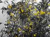 Λεμονια DSC00063 ( Explore ) (omirou56) Tags: 43 ελλαδα δεντρο λεμονι λεμονια sonydscwx500