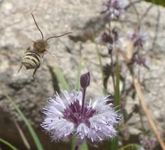 Tetraloniella m (bego vega) Tags: madrid macro male insect bee abeja macho vega bv bego insecto menta hymenoptera navacerrada mentha apoidea eucerini himenoptero tetraloniella