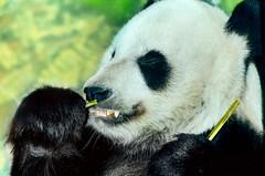 Giant panda bear eating bamboo at Memphis Zoo in Memphis Tennessee (CarmenSisson) Tags: china bear usa animal zoo panda feeding eating memphis tennessee wildlife teeth bamboo endangered giantpanda claws memphiszoo endangeredspecies carnivora ailuropodamelanoleuca