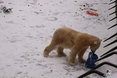 Eisbr Fiete im Zoo Rostock 23.01.2016  025 (Fruehlingsstern) Tags: vienna zoo polarbear vilma eisbr erdmnnchen fiete zoorostock geparden baumknguru canoneos750 tamron16300