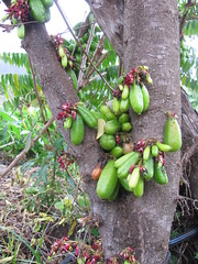 starr-130221-1597-Averrhoa_bilimbi-fruit_and_flowers-Waihee-Maui (Starr Environmental) Tags: averrhoabilimbi