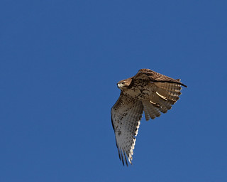 Red Tailed Hawk 7431