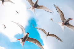 Arctic terns attacking in Iceland (markmartucciphoto) Tags: travel iceland europe arctic attacking terns markmartucciphotography
