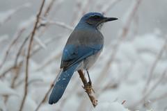 scrub jay in the snow 1 (Brian Eagar Nature Photography) Tags: winter snow bird nature animal utah fuji wildlife january fujinon 2016 utahnature utahwildlife utahbird xf55200 fujixf55200 fujixt1