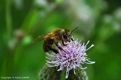 Honeybees of Turkei (NATIONAL SUGRAPHIC) Tags: bees türkiye insects bee mothernature naturephotography macrophotography turkei doğa hendek sakarya arılar sugraphic doğafotoğrafçılığı çamlıcaköyü çamlıcavillage yenitürkiye ayhançakar newturkei nationalsugraphic