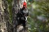 Magellanic Woodpecker (Campephilus magellanicus) (Sergey Pisarevskiy) Tags: southamerica argentina birds wildlife birdwatching wildnature campephilusmagellanicus magellanicwoodpecker