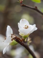 Early blossom (James E. Petts) Tags: flowers white flower macro london blossom centralpark eastham