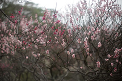 red / pink (_Count_Zero) Tags: ume umeblossoms