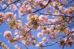 My favorite picture so far (actionx_1) Tags: california pink ontario flower us unitedstates blossom petal cherryblossom 50mmf18 sonya6000