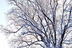 red oak (ophis) Tags: quercus redoak fagaceae quercusrubra