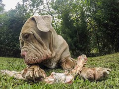 Neapolitan Mastiff Female Dog Lying With A Big Bone (kalypsoworldphotography) Tags: portrait dog pet motion animal female mouth big paw raw sheep action expression background jaw mastiff fresh meat roast fisheye barf domestic massive meal chewing chew lama bone strength neo hungry rib diet fiber temptation behavior companion wrinkle claws loyal pedigree intelligent oversize nutrition vitamin uncooked fleshy neapolitanmastiff molosser italianmastiff
