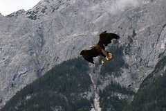 Eagle over alps (quinet) Tags: mountains alps castle austria tirol österreich berge schloss château tyrol hohenwerfen autriche burg falconry falknerei montagnes 2014 tyrolia fauconnerie