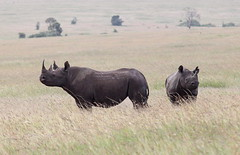Black rhinos (scrambldmeggs) Tags: africa travel mom kenya young ears safari mara rhino horn rhinoceros blackrhino maasaimara blackrhinoceros
