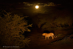 Moonstruck (hvhe1) Tags: africa wild moon game nature animal night cat southafrica drive nationalpark wildlife safari leopard bigcat predator gamedrive gamereserve luipaard léopard moonstruck pantherapardus specanimal hvhe1 hennievanheerden specanimalphotooftheday marataba