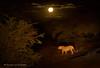 Moonstruck (hvhe1) Tags: africa wild moon game nature animal night cat southafrica drive nationalpark wildlife safari leopard bigcat predator gamedrive gamereserve luipaard léopard moonstruck pantherapardus specanimal hvhe1 hennievanheerden specanimalphotooftheday marataba