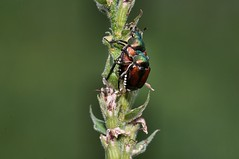 2015 Japanese Beetles Mating (Popilla japonica) 2 (DrLensCap) Tags: county railroad chicago abandoned robert forest bug way spur japanese illinois woods track pacific district union cook trails right il trail rails mating to beetles preserve japonica kramer weber preserves labagh of popilla