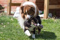 "Rope tug war - Echo pretty much always ""wins"" (sturner404) Tags: dog dogs sunshine puppy toy march spring play echo aussie australianshepherd jax blacktri"