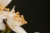 Pollen gang (gabi_halla) Tags: white flower spring plum stamen bloom pollen blooming macrophoto macrophotography plumflower springishere macrodreams