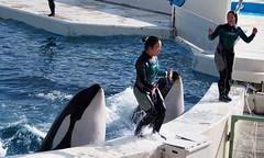 Lovey and Lara (EmilyOrca) Tags: show light water pool face mammal aquarium jump marine lift orca splash behavior trainer cetacean
