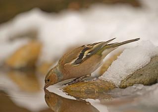 Common chaffinch: Fringilla coelebs (Explored)