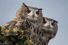 Eurasian Eagle Owls (SHGP) Tags: cambridge bird nature birds animals st canon eagle wildlife sigma foundation raptor prey eurasian ives owls huntingdon 700d 150500mm