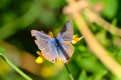 Lampides boeticus (Linnaeus, 1767). Macho (Jess Tizn Taracido) Tags: lepidoptera lycaenidae papilionoidea lampidesboeticus polyommatinae polyommatini