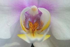 コチョウラン(胡蝶蘭)/Phalaenopsis (nobuflickr) Tags: flower nature phalaenopsis apan mothorchid 大阪市 ファレノプシス osakapref 咲くやこの花館 turumi ryokuchpark awesomeblossoms ラン科コチョウラン属 20160312dsc03525 コチョウラン胡蝶蘭