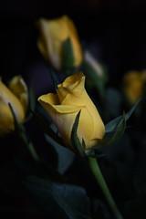DSC_0777 Yellow Roses (PeaTJay) Tags: flowers roses plants macro nature rose gardens fauna reading flora indoors micro closeups berkshire rosebuds lowerearley nikond750