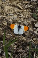 Aurorafalter [ Orange tip ] [ Aurorafjril ] ( Anthocharis cardamines ) (ritschif) Tags: butterfly natur makro tier insekten schmetterling orangetip aurorafalter anthochariscardamines tagfalter aurorafjril dagfjrilar