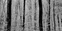winter forest 1138 (s.alt) Tags: snowflake schnee winter blackandwhite plant cold tree ice nature monochrome beauty horizontal forest landscape outdoors bayern frozen blackwhite woods ast frost branch outdoor natur verschneit snowcapped silence wilderness kalt landschaft wald baum purity forst winterwald laubbaum winterforest gehlz whitelandscape waldland waldgebiet natureunveiled schneedecke waldung