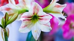 Blow Your Horn (m1hoff) Tags: pink flowers red white macro colors nikon nopeople dreaming sigma150mm d700 bokehbeyond