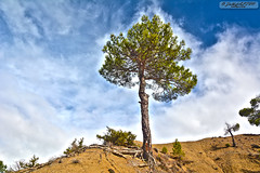 Lonely Tree (zulkifaltin) Tags: tree green nature pine village earth hill am aa tepe keleki