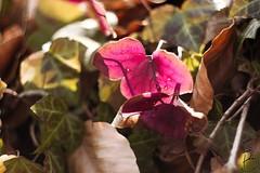 Helios 44-2 in the Spring (sven_breitkopf) Tags: pink flower canon germany spring focus soft bokeh softfocus dreamy m3 58mm helios f20 udssr helios44 apsc helios442 eosm3
