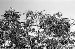 Silhouette of a Shrub (Pexpix) Tags: 4002tmy bw blackandwhite film film201603 kodak400tmax kodakd76 leica35mmsummicronmf2asph leicampsilver monochrome