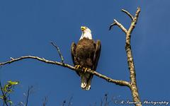 Mr. Majestic (R. Sawdon Photography) Tags: eagle baldeagle beak raptor perch americanbaldeagle talons rsawdonphotography russsawdon
