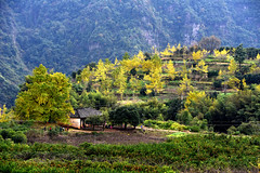 Ginkgo village (MelindaChan ^..^) Tags: china autumn tree fall yellow rural countryside leaf ginkgo village guilin mel fallen melinda guangxi 桂林 廣西 chanmelmel melindachan 小平樂 海洋鄉