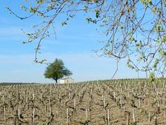 """Paysage viticole (Daniel Biays """" VOIR MON PROFIL """") Tags: landscape paysage vignes vignoble cabane gironde mdoc saintseurindecadourne"""