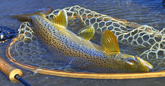 too big for the net (W. Robin Hill) Tags: flyfishing browntrout catchandrelease